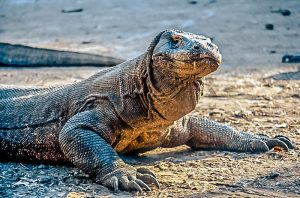 Sailing Komodo Dragon